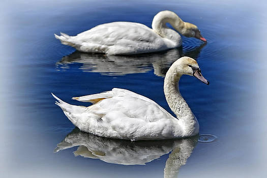 Two Swans Swimming by Lincoln Rogers by Lincoln Rogers