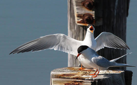 Two Terns by Diane Rada