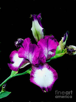 Scott B Bennett - two tone iris