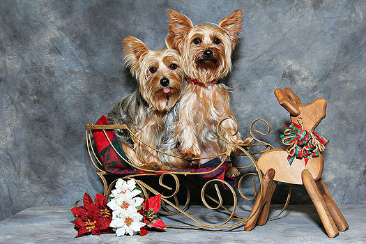 Two Yorkie Sleigh by John Rockwood