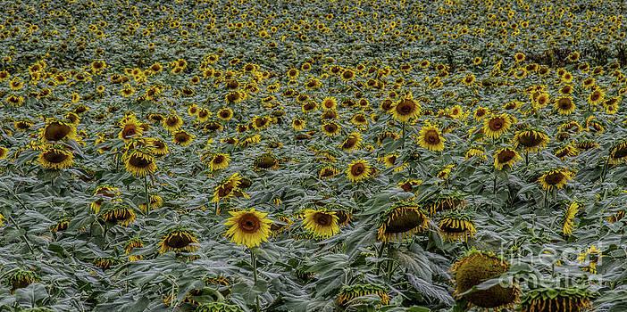 Barbara Bowen - U can never have too many Sunflowers