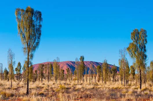 Uluru Desert Oak by Ross Carroll