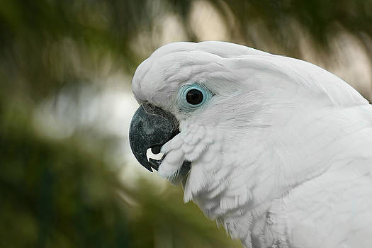 Umbrella Cockatoo by Erin Tucker