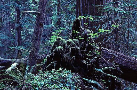 Daniel Furon - Deep in the Redwoods Grove #1