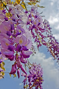 Under the Wisteria by Mamie Thornbrue