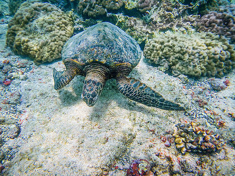 Swimming Turtle by Denise Bird