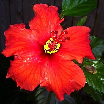 #unedited #red #hibiscus #flower In The by Jeff Jordan