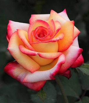 Rosanne Jordan - Unfailing Love Rose