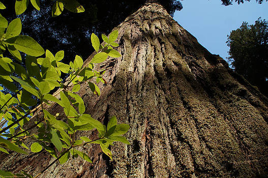 Mick Anderson - Up a Giant Redwood Tree