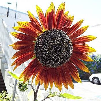 Urban Sunflower by Brett Dewey