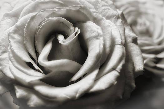 Valentine Rose by Frank Morales Jr