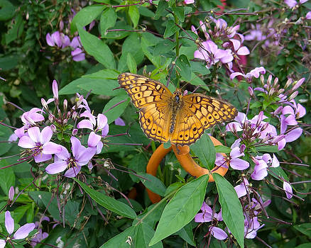 Variegated Fritillary Butterfly by David Nichols