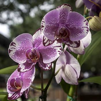 Lynn Palmer - Variegated Pink Orchids