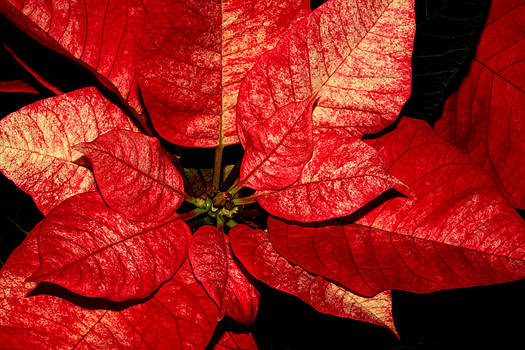 Variegated Poinsettia I by Robert Morin