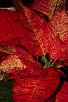Variegated Poinsettia Ii by Robert Morin
