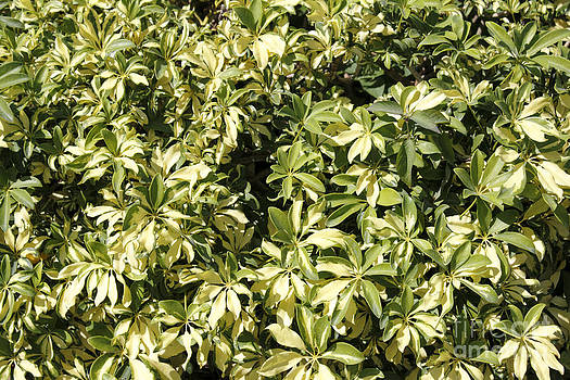 Variegated Schefflera Outdoors by Lee Serenethos