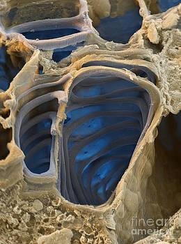 Eye of Science - Vascular Bundles Sem