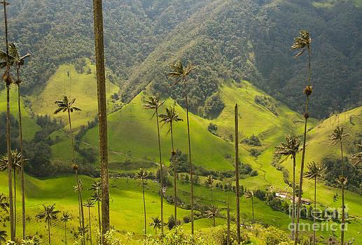 Vax palm trees of Cocora Valley  by Konstantin Kalishko