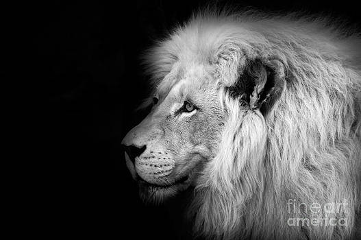 Ian Monk - Vegas Lion - Black and White