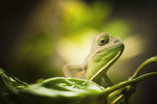 Veiled Chameleon Is Watching You by Bradley R Youngberg