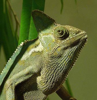Margaret Saheed - Veiled Chameleon