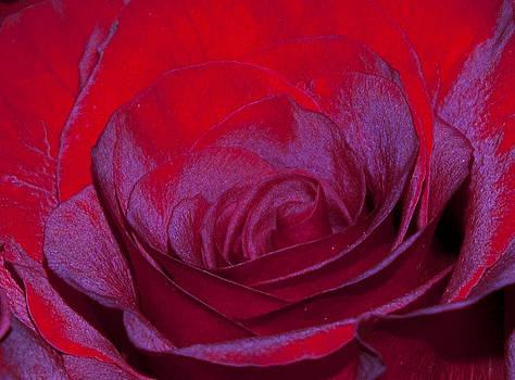 Velvet Rose by Katina Borges