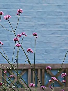 Verbena Bonariensis by Louise Morgan
