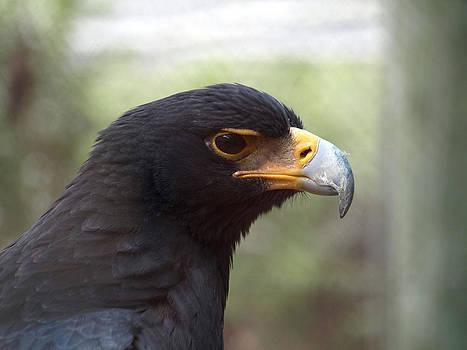 Verreaux's eagle by Steen Hovmand Lassen