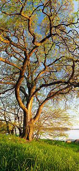 Vertical panorama of big tree  by Juhani Viitanen