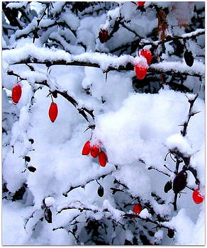 Very berry snow II by Sherrie Robins