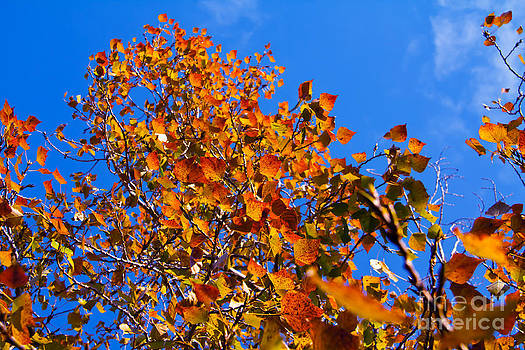 Vibrant Autumn Tree by Rachel Duchesne