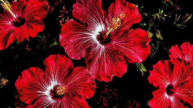 Donna Proctor - Vibrant Red Hibiscus