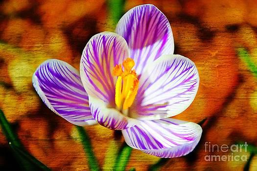 Vibrant Spring Crocus by Judy Palkimas