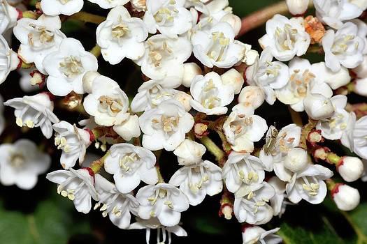Viburnum Tinus Flowers by Bruno Petriglia