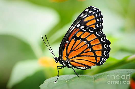 Oscar Gutierrez - Viceroy Butterfly 1