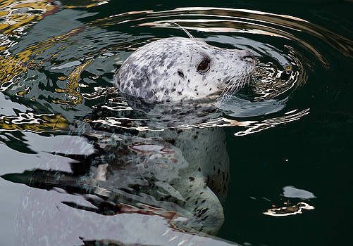 John Daly - Victoria Harbour Seal
