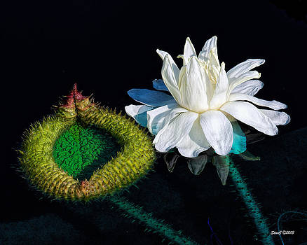 Victoria Lily Blossom by Stephen  Johnson
