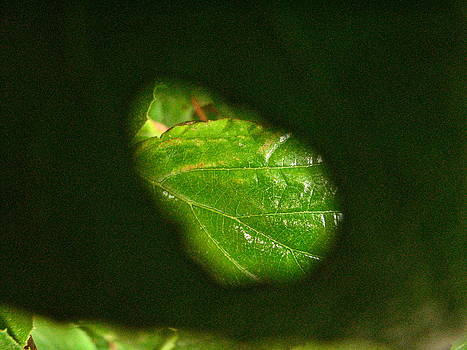 Sandy Tolman - View thru Leaf - 5038