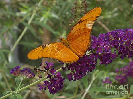Vindula dejone butterfly by Barbara Lightner