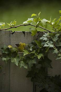 Vine on my Fence by Chad Davis