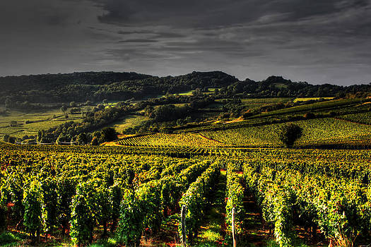 Vines in France by Tom Prendergast