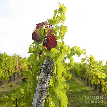 BERNARD JAUBERT - Vineyard