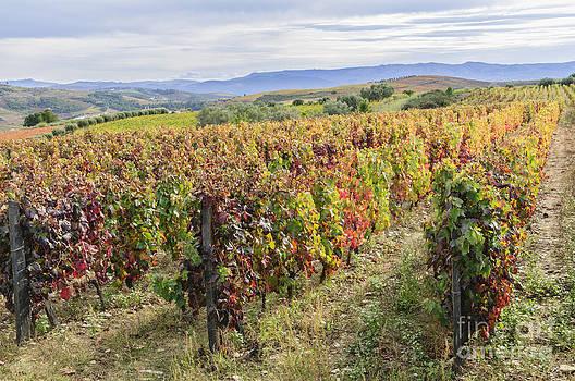 Oscar Gutierrez - Vineyard in its autumn colors
