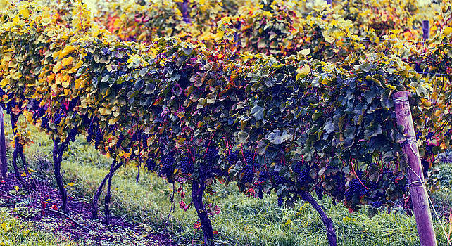 Vineyard by Mary Underwood