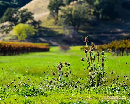 Vineyard Thistles by CML Brown