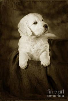 Angel Ciesniarska - Vintage golden retriever pup