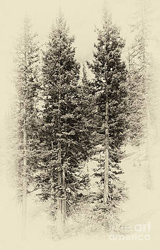 Vintage Pines by Pam  Holdsworth