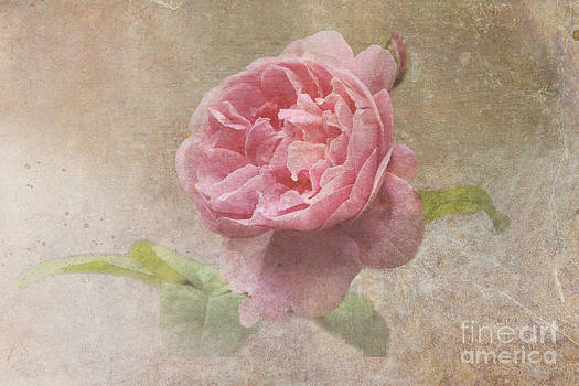Vintage Rose by Michelle Orai
