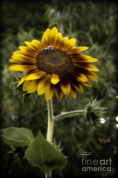 Vintage Rustic Sunflower by Cris Hayes