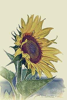 Cris Hayes - Vintage Sunflower
